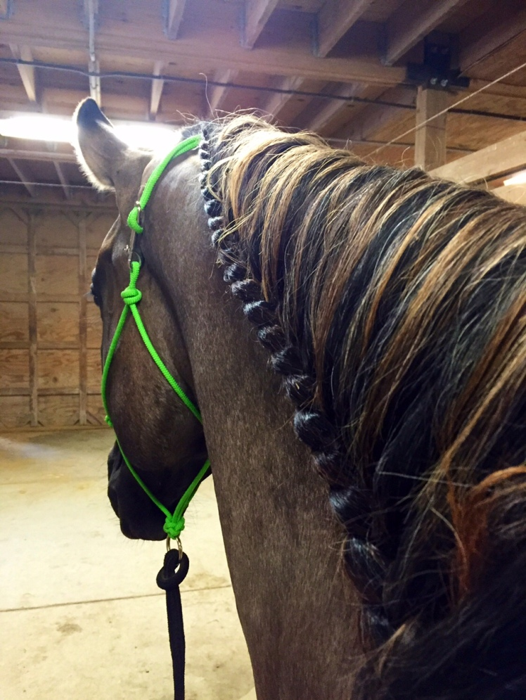 With such a long mane, Drifter gets a running braid so the reins don't get tangled up. Pretty and functional!